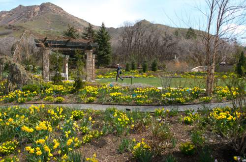 Steve Griffin  |  The Salt Lake Tribune   Spring flowers burst into bloom at Red Butte Garden in Salt Lake City, Utah Thursday, April 10, 2014. 400,000 bulbs are coming into bloom simultaneously and will be on full display for Red Butte Garden's Bulbs & Blooms Festival April 12 – 26.