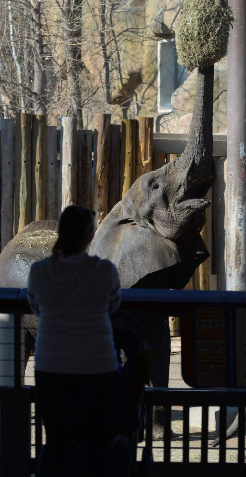 Steve Griffin  |  The Salt Lake Tribune The elephants stretch to get their food at Utah's Hogle Zoo in Salt Lake City in January. Last year, the zoohad its second highest number of visitors ever.