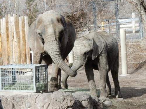 Eric Peterson | Hogle Zoo  Dari the elephant shown with another elephant, Zuri. Dari, the oldest elephant in North America, was euthanized Saturday, Aug. 8, 2015 at the age of 55 by staff at the Hogle Zoo.