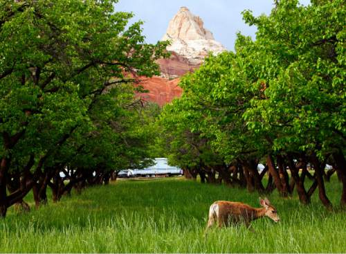 Tribune file photo Deer are a common site outside of the Capitol Reef Loop C camp site as seen here in 2006.
