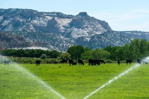 Chris Detrick     The Salt Lake Tribune Cows graze in Escalante Thursday July 30, 2015.