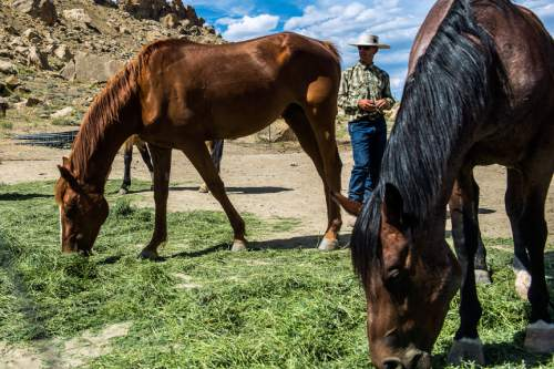 Chris Detrick     The Salt Lake Tribune Dave Treanor works with his horses in Escalante Wednesday July 29, 2015.  Erin and Dave Treanor own Rising DT Ranch Horse Tours and provide horseback tours around the Grand Staircase National Monument.
