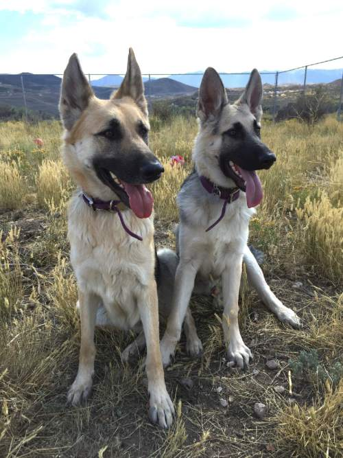 |  Courtesy   As Jennifer Andrus recovers from injuries suffered in a shooting, the Purple Paw program is taking care of her two German shepherds. The program, operated by Summit County-based Nuzzles & Co., helps domestic violence victims leave an abusive situation by housing their pets. AndrusÌ estranged husband has been arrested in the shooting.