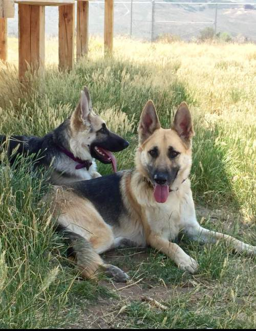|  Courtesy   As Jennifer Andrus recovers from injuries suffered in a shooting, the Purple Paw program is taking care of her two German shepherds. The program, operated by Summit County-based Nuzzles & Co., helps domestic violence victims leave an abusive situation by housing their pets. Andrusí estranged husband has been arrested in the shooting.