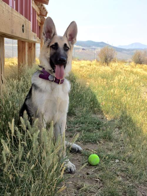 |  Courtesy   As Jennifer Andrus recovers from injuries suffered in a shooting, the Purple Paw program is taking care of her two German shepherds. The program, operated by Summit County-based Nuzzles & Co., helps domestic violence victims leave an abusive situation by housing their pets. Andrus' estranged husband has been arrested in the shooting.