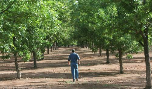 Al Hartmann  |  Tribune file photo A man walks a row of pecan trees at the Southern Utah Pecan Ranch near Hurricane in September 2000.