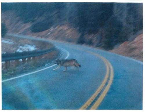 Motorists driving on Cedar Mountain photographed what appears to be collared wolf crossing State Route 14 east of Cedar City on Nov. 20, 2014. Conservationists believe this is the same animal shot by hunters Dec. 28 near Beaver 65 miles away. The man who pulled the trigger says he mistook the wolf, which is federally protected, for a coyote, which are subject to a $50 state bounty. Utah wildlife officials have come under fire for not taking steps to protect this wolf from coyote hunters. Courtesy photo.