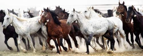Steve Griffin     The Salt Lake Tribune  Wild horses run in their pen as they are cared for in the BLM's new off-range contract wild horse corral, located on a 32-acre private ranch in Axtell, Utah Monday, September 14, 2015.  Over 500 wild horses currently are housed at the facility, including the 170 wild horses associated with the Wheeler Pass Herd Management Area Emergency Gather near the Cold Creek area of Southern Nevada. The Axtell, Utah contract off-range corral can provide care for up to 1,000 wild horses and encompasses 32 acres of private land containing over 40 holding pens in various sizes.