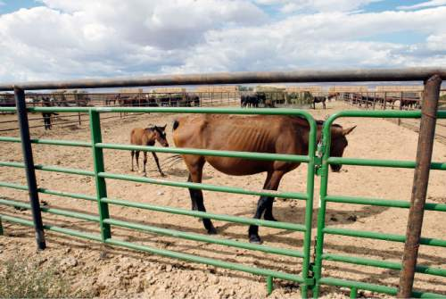Steve Griffin     The Salt Lake Tribune  A foal stands with its mother as wild horses from the Cold Creek area of Southern Nevada are cared for in the BLM's new off-range contract wild horse corral, located on a 32-acre private ranch in Axtell, Utah Monday, September 14, 2015.  Over 500 wild horses currently are housed at the facility, including the 170 wild horses associated with the Wheeler Pass Herd Management Area Emergency Gather near the Cold Creek area of Southern Nevada. The Axtell, Utah contract off-range corral can provide care for up to 1,000 wild horses and encompasses 32 acres of private land containing over 40 holding pens in various sizes.