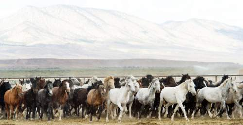 Steve Griffin     The Salt Lake Tribune  Wild horses are cared for in the BLM's new off-range contract wild horse corral, located on a 32-acre private ranch in Axtell, Utah Monday, September 14, 2015.  Over 500 wild horses currently are housed at the facility, including the 170 wild horses associated with the Wheeler Pass Herd Management Area Emergency Gather near the Cold Creek area of Southern Nevada. The Axtell, Utah contract off-range corral can provide care for up to 1,000 wild horses and encompasses 32 acres of private land containing over 40 holding pens in various sizes.