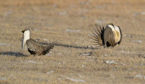 Francisco Kjolseth  |  The Salt Lake Tribune  Greater sage grouse during mating season on a lek near Bear Lake March 25, 2015.
