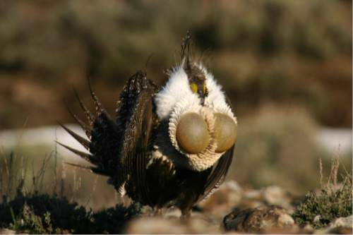 Courtesy  |  Utah Division of Wildlife   During his strutting ritual, a male sage grouse inflates his air sacs.