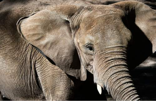 Steve Griffin  |  The Salt Lake Tribune  Christie, Hogle Zoo's 26-year-old elephant, fans her ears to cool off as she eats at the zoo in Salt Lake City, Thursday, October 8, 2015.