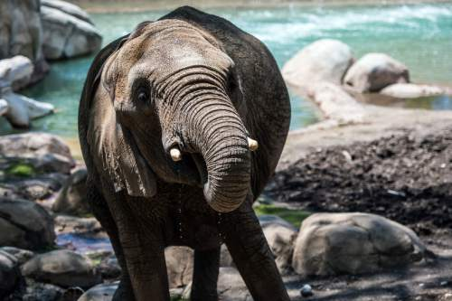 Chris Detrick  |  The Salt Lake Tribune Elephant Zuri at Utah's Hogle Zoo Thursday May 28, 2015.