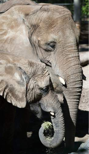 Steve Griffin  |  The Salt Lake Tribune  26-year-old Christie and her 6-year-old daughter Zuri feed together in the elephant exhibit at the Hogle Zoo Salt Lake City, Thursday, October 8, 2015.