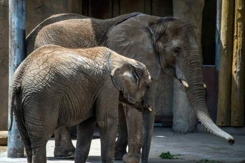 Chris Detrick  |  The Salt Lake Tribune Elephants Christie and Zuri at Utah's Hogle Zoo Thursday May 28, 2015.