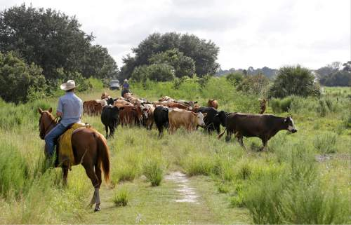 In this Wednesday, Sept. 30, 2015, photo, cowboys herd cattle from one pasture to another at the Deseret Ranch in Deseret Ranch, Fla. Over the coming six decades, housing developments will replace citrus trees, and office parks will replace cattle-grazing under a plan being developed by the Mormon church-owned Deseret Ranch located southeast of Orlando. (AP Photo/John Raoux)