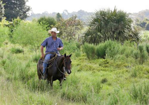 In this Wednesday, Sept. 30, 2015, photo, a cowboy at the Deseret Ranch in Deseret Ranch, Fla., rides along a path after herding cattle to a pasture. Over the next six decades, the plan being developed by the Mormon church-owned Deseret Ranch promises to convert the largest undeveloped section of metro Orlando into more than a dozen bustling neighborhoods. (AP Photo/John Raoux)