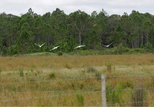 In this Wednesday, Sept. 30, 2015, photo, birds fly over a part of the vast pasture land in Deseret Ranch, Fla. Over the next six decades, the plan being developed by the Mormon church-owned Deseret Ranch promises to convert the largest undeveloped section of metro Orlando into more than a dozen bustling neighborhoods. (AP Photo/John Raoux)