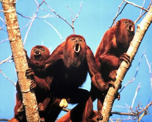 Carolyn M. Crockett | Howler monkeys of the species Alouatta arctoidea.