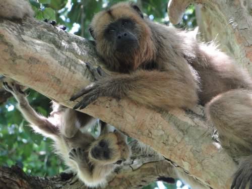 Mariana Raño | A mother and baby of the howler monkey species Alouatta caraya.