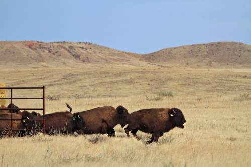 Bison run out of a holding pen and into a pasture at Soapstone Prairie Natural Area on Nov. 1, 2015, north of Fort Collins, Colo. It has been at least 150 years since bison roamed the land.  Managers hope that the four pregnant cows in the herd will give birth and grow the herd to restore the bison to the native lands, helping the local ecosystem in the process. ( Brian Smith /The Coloradoan via AP) MANDATORY CREDIT