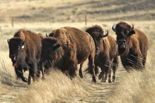 A of bison slows down after running into a pasture at Soapstone Prairie Natural Area on Sunday, Nov. 1, 2015, north of Fort Collins, Colo.  The seed herd consists of nine bison cows and one, 5-month-old bull calf. Managers hope that the four pregnant cows in the herd will give birth and grow the herd to restore the bison to the native lands, helping the local ecosystem in the process. ( Brian Smith /The Coloradoan via AP) MANDATORY CREDIT