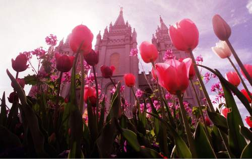 Flowers on Temple Square are in full bloom as spring temperatures begin to heat up. Griffin/photo