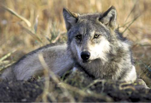 Associated Press file photo A photo provided by the U.S. Fish and Wildlife Service shows gray wolf rests in tall grass.
