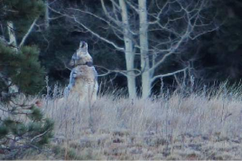 Utah 39 s war on coyotes claims another wolf the salt lake for Utah game and fish