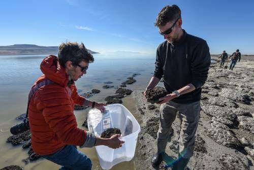 Francisco Kjolseth | The Salt Lake Tribune Tim Lee, left, an exhibit designer with the Natural History Museum gathers microbialites with geologist Mike Vanden-Berg along the shores of The Great Salt Lake. The small rock like structures formed by cyanobacteria, offer a glimpse of what the Earth was like for its first 3 billion years.