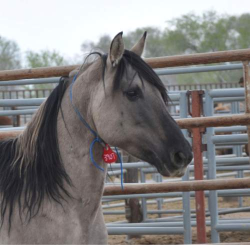 Courtesy  |  Bureau of Land Management  This 25-year-old stallion captured by the Bureau of Land Management this past winter in Utah is getting a lot of attention from wild horse lovers. The American Wild Horse Preservation Campaign collected 24,000 signatures in an effort to get the horse, Grulla stallion 3907, released back into Utah's west desert where he was captured. BLM officials say that is not likely to happen.