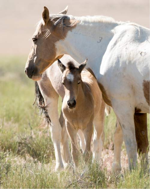 Rick Egan  |  The Salt Lake Tribune  A foal and its mother graze in the Onaqui wild horse management area  near Simpson Springs. BLM will soon begin darting Onaqui mares with a contraceptive in the hopes of controlling wild horse numbers without costly and controversial roundups. Thursday, June 5, 2014.