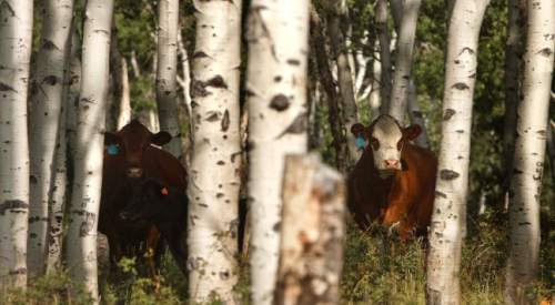 Leah Hogsten     The Salt Lake Tribune Quaking aspen, Utah's state tree, once covered 40 percent of Monroe Mountain, but today conifers are encroaching into many stands. In other places, aspen shoots fail to mature because they are eaten by cattle, sheep, deer and elk. Without fresh trees to replace the older ones, as seen in this file photo, stands age into decrepitude and disappear. Fishlake National Forest plans to restore Monroe's aspen ecosystems through a 10-year program of prescribed burning, logging and improved management of livestock and big game.
