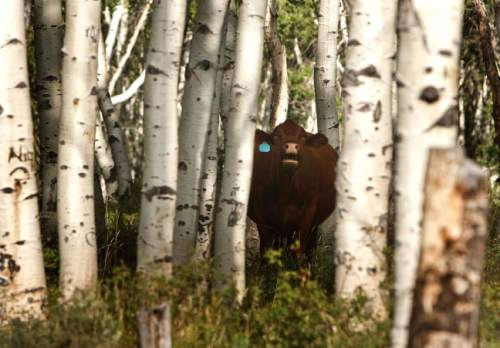 Leah Hogsten     Tribune file photo Quaking aspen, Utah's state tree, once covered 40 percent of Monroe Mountain, but today conifers are encroaching into many stands. In other places, aspen shoots fail to mature because they are eaten by cattle, sheep, deer and elk. Without fresh trees to replace the older ones, as seen in this file photo, stands age into decrepitude and disappear. Fishlake National Forest plans to restore Monroe's aspen ecosystems through a 10-year program of prescribed burning, logging and improved management of livestock and big game.
