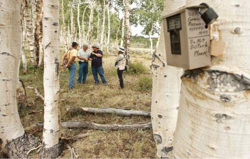 Leah Hogsten  |  The Salt Lake Tribune  Quaking aspen, Utah's state tree, once covered 40 percent of Monroe Mountain, but today conifers are encroaching into many stands. In other places, aspen shoots fail to mature because they are eaten by cattle, sheep, deer and elk. Without fresh trees to replace the older ones, as seen in this file photo, stands age into decrepitude and disappear. Fishlake National Forest plans to restore Monroe's aspen ecosystems through a 10-year program of prescribed burning, logging and improved management of livestock and big game.