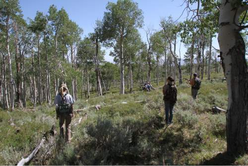 Francisco Kjolseth     The Salt Lake Tribune  Quaking aspen, Utah's state tree, once covered 40 percent of Monroe Mountain, but today conifers are encroaching into many stands. In other places, aspen shoots fail to mature because they are eaten by cattle, sheep, deer and elk. Without fresh trees to replace the older ones, as seen in this file photo, stands age into decrepitude and disappear. Fishlake National Forest plans to restore Monroe's aspen ecosystems through a 10-year program of prescribed burning, logging and improved management of livestock and big game.
