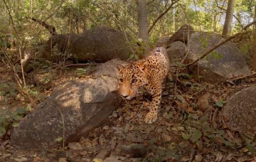 "A jaguar approaches the viewer in ""Condition One,"" one of the virtual-reality works to be shown in the New Frontier program of the 2016 Sundance Film Festival. Casey Brown  