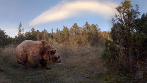 "A grizzly bear ambles past the viewer in ""Condition One,"" one of the virtual-reality works to be shown in the New Frontier program of the 2016 Sundance Film Festival. Courtesy Sundance Institute"