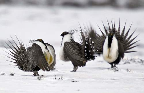 In this Saturday, April 20, 2013 photo, male greater sage grouse perform mating rituals for a female grouse, not pictured, on a lake outside Walden, Colo. On Tuesday, Sept. 22, 2015, the Interior Department that the ground-dwelling bird whose vast range spans 11 Western states, does not need federal protections following a costly effort to reverse the species' decline without reshaping the region's economy. (AP Photo/David Zalubowski)