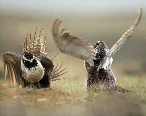 FILE - In this May 9, 2008 file photo, male sage grouses fight for the attention of female southwest of Rawlins, Wyo. Montana is considering a proposal to relocate dozens of sage grouse to Alberta to help avoid a collapse of the bird's population in the Canadian province. Montana itself is one of 11 Western states taking measures to ensure its own fragile population of sage grouse doesn't become endangered. (Jerret Raffety/Rawlins Daily Times, File)