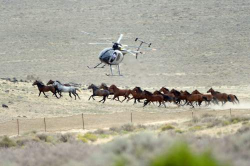 Al Hartmann  |  Tribune file photo The BLM used helicopters to steer wild horses into holding pens last July in an effort to remove the animals from state trust lands at Blawn Wash about 35 miles southwest of Milford. Dozens of horses soon returned and Utah is now suing BLM, demanding the agency remove horses from its lands across the West Desert.