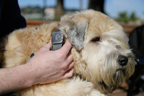 """In this photo taken Wednesday, Feb. 24, 2016, Russell Gipson Shearer displays the Whistle pet tracker, a GPS-enabled device, on his dog Rocket's collar at Dolores Park in San Francisco. Technology isn't just for humans. It's also for their furry friends. In Silicon Valley and beyond, a growing number of """"pet-tech"""" startups are selling devices to keep pets safe, healthy, entertained and connected when their owners are away. (AP Photo/Eric Risberg)"""