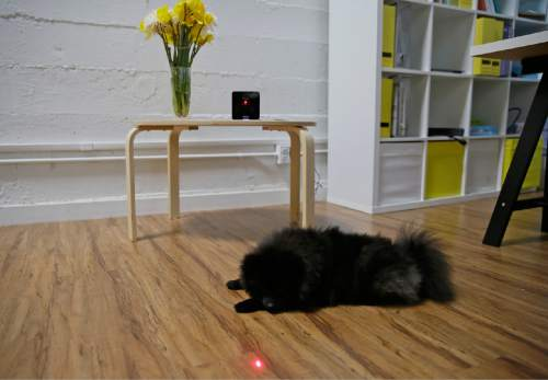 """In this photo taken Wednesday, Feb. 24, 2016, Pusher, a Pomeranian dog, plays with a laser pointer on the interactive wi-fi pet camera Petcube in San Francisco. Technology isn't just for humans. It's also for their furry friends. In Silicon Valley and beyond, a growing number of """"pet-tech"""" startups are selling devices to keep pets safe, healthy, entertained and connected when their owners are away. (AP Photo/Eric Risberg)"""