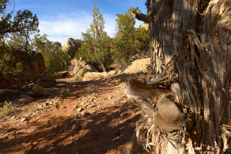 Leah Hogsten  |  The Salt Lake Tribune Recapture Canyon's illegally widened trail by two Blanding residents in 2007 is peppered with chainsawed trees, Thursday, April 24, 2014.  The BLM closed Recapture Canyon to motorized use in 2007 after trail builders caused more than $300,000 in damage to archaeological sites. San Juan County officials propose establishing a 14.3-mile network of motorized routes in the canyon's northern portion, accessed from four trailheads. Most of the network would follow existing routes, but the project would require about 2.3 miles of new trails.