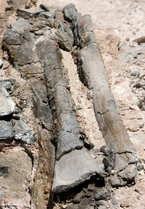 Scientists with the Burpee Museum of Natural HIstory in Illinois have uncovered a promising dinosaur quarry on BLM land near Hanksville.   Here are some bones from a Diplodocus found in the dig.    Al Hartmann photo/Salt Lake Tribune   6/19/08