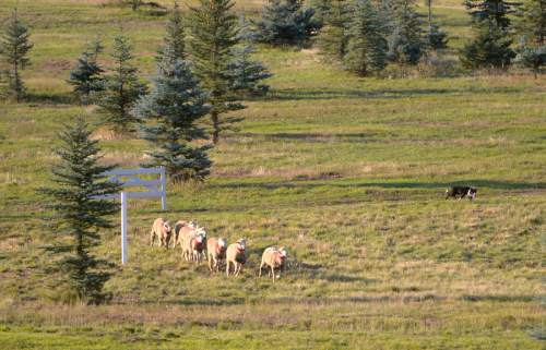 Rick Egan     The Salt Lake Tribune  Ron Ezeroth's dog Mick, herds the sheep through of the gates, in the Sheep Dog Grand Championships, at Solider Hollow, Monday, September 1, 2014