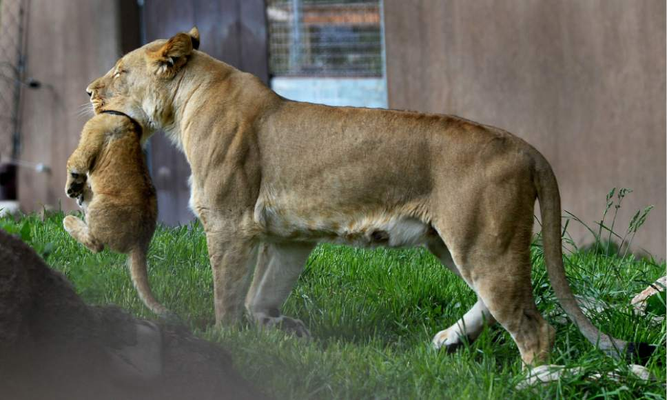 Steve Griffin / The Salt Lake Tribune  One of three lion cubs born at Utah's Hogle Zoo in February gets picked up gently by mother Nabu as moves they cub away from the maile lions they are introduced to the public for the first time Monday May 16, 2016. Born at roughly two pounds each, the cubs now tip the scales at 20-26 pounds each! (Brutus - 26; Titus - 24 and Calliope - 20.)  The cubs bonded great with mom, Nabu, who has been a perfect first-time mother: attentive, protective and loving.  The cubs live with the rest of the pride - father Baron, 'auntie' Seyla and 'uncle' Vulcan at Lions' Hill.