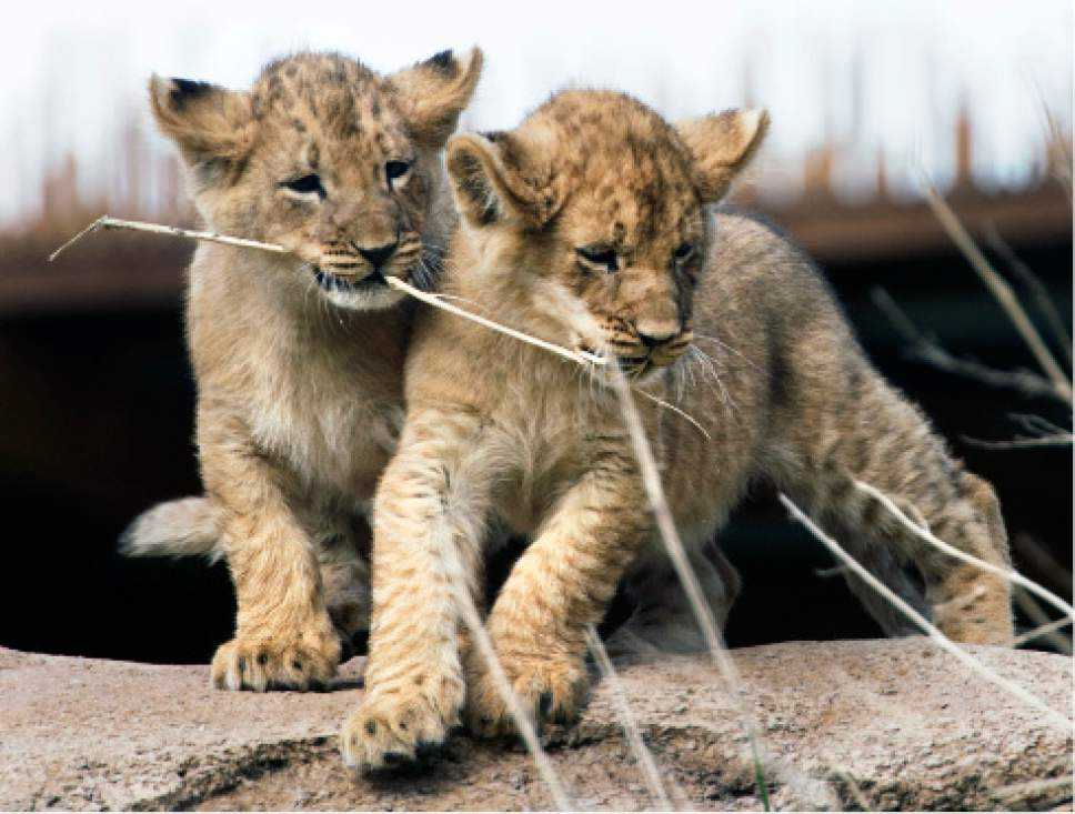 Steve Griffin / The Salt Lake Tribune  Two of three lion cubs born at Utah's Hogle Zoo in February wrestle with a piece of grass as they are introduced to the public for the first time Monday May 16, 2016. Born at roughly two pounds each, the cubs now tip the scales at 20-26 pounds each! (Brutus - 26; Titus - 24 and Calliope - 20.)  The cubs bonded great with mom, Nabu, who has been a perfect first-time mother: attentive, protective and loving.  The cubs live with the rest of the pride - father Baron, 'auntie' Seyla and 'uncle' Vulcan at Lions' Hill.