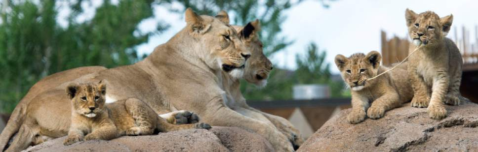 Steve Griffin / The Salt Lake Tribune  Three lion cubs born at Utah's Hogle Zoo in February hang out with mother Nabu and aunt Seyla as they are introduced to the public for the first time Monday May 16, 2016. Born at roughly two pounds each, the cubs now tip the scales at 20-26 pounds each! (Brutus - 26; Titus - 24 and Calliope - 20.)  The cubs bonded great with mom, Nabu, who has been a perfect first-time mother: attentive, protective and loving.  The cubs live with the rest of the pride - father Baron, 'auntie' Seyla and 'uncle' Vulcan at Lions' Hill.